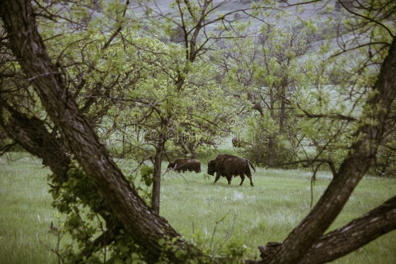 Bison chez Custer State Park image stock