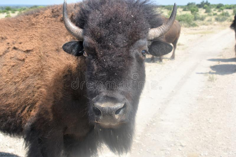 Bison Close  photo stock