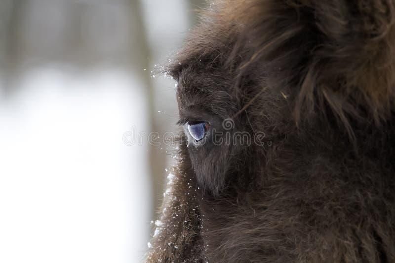 Bison close up stock photos