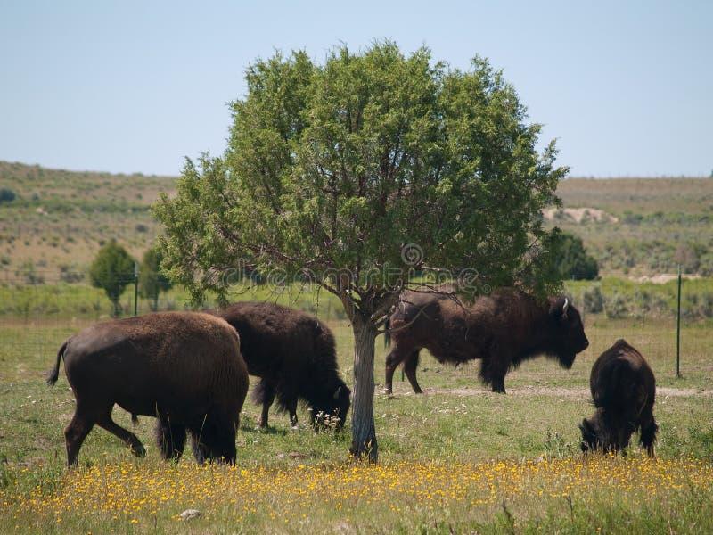 bison colorado royaltyfri bild