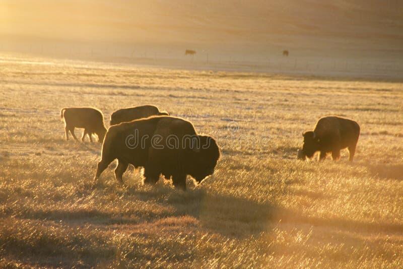 Bison Colorado stock photography