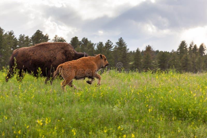 Bison courant de bébé image libre de droits