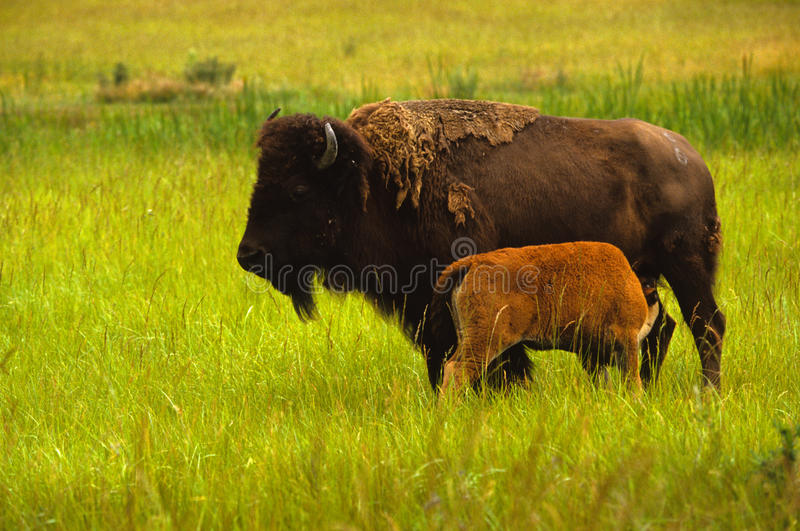 Bison Cow and Calf royalty free stock photo