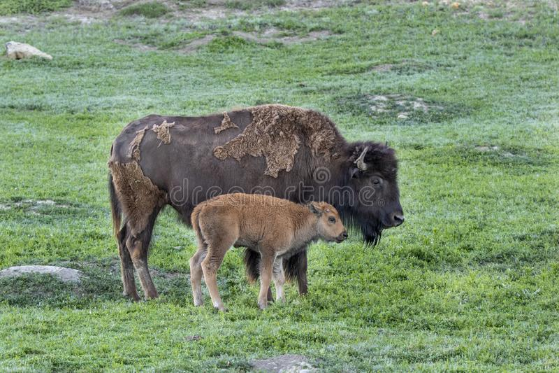Bison cow with new baby calf. In Theodore Roosevelt National Park, North Dakota stock photography