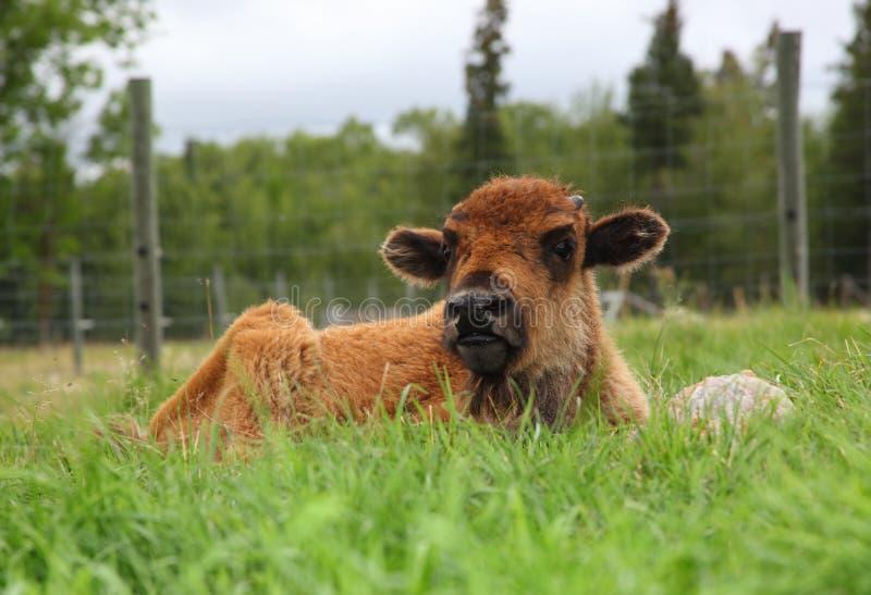 Bison Cross Calf images libres de droits