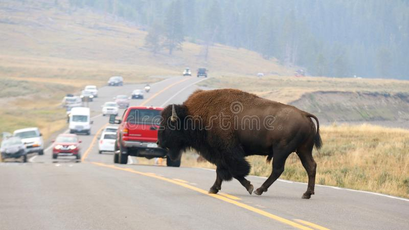 Bison Crossing die Straße an Yellowstone Nationalpark, Wyoming lizenzfreies stockbild