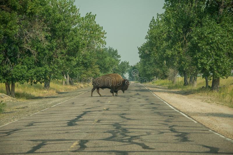 Bison Crossing. A road in Rocky Mountain Arsenal Wildlife refuge royalty free stock images