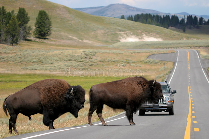 Download Bison Crossing The Road In Yellowstone Stock Image - Image: 194209