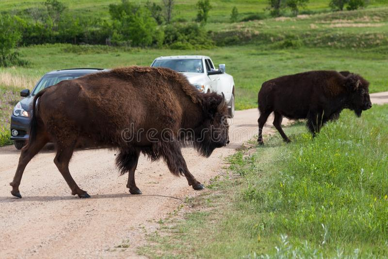 Bison Crossing une route images stock