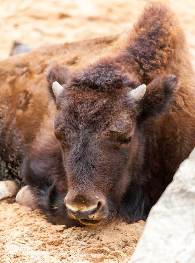 Bison cub lies stock image