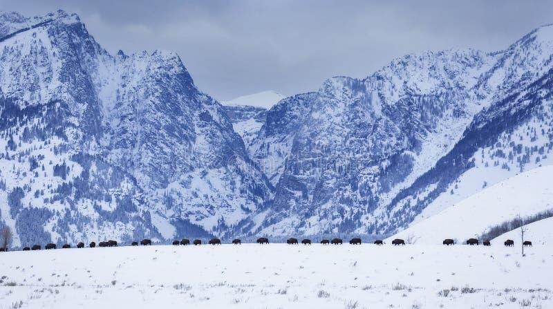 Bison d'hiver images libres de droits