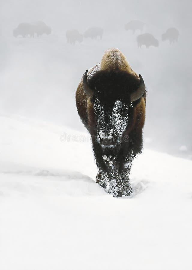 Bison d'hivernage photos libres de droits