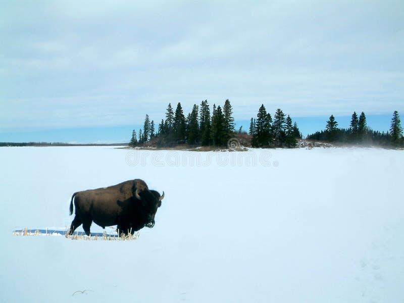 Bison dans la neige photo libre de droits