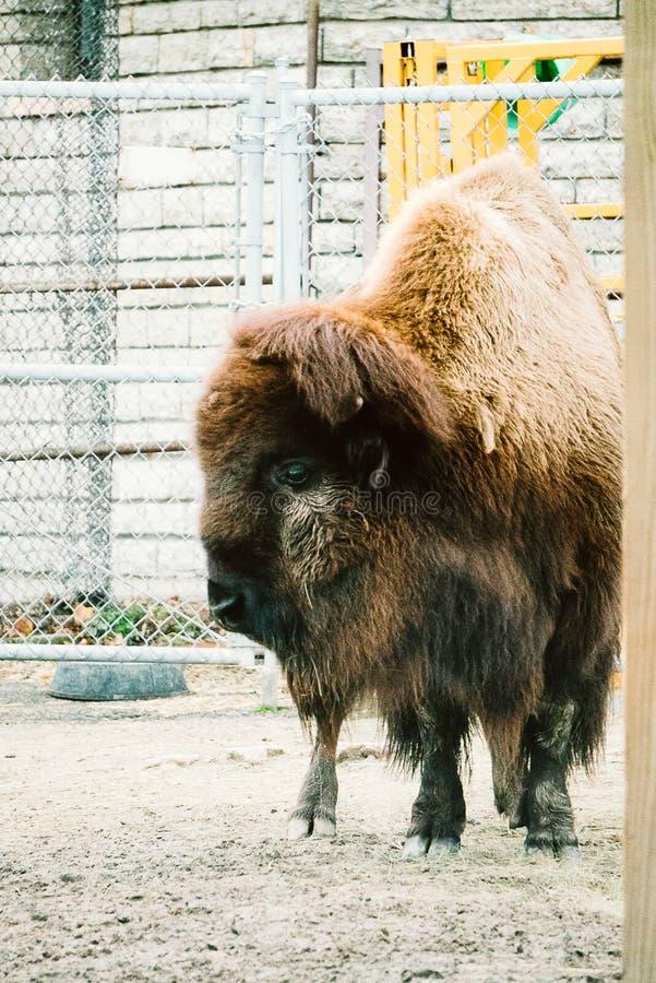 Bison dans un zoo image libre de droits