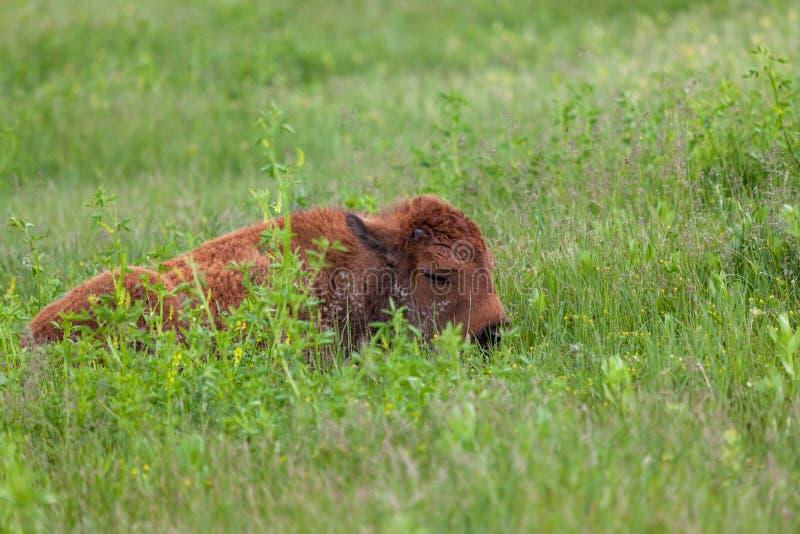 Bison de bébé de sommeil photographie stock libre de droits