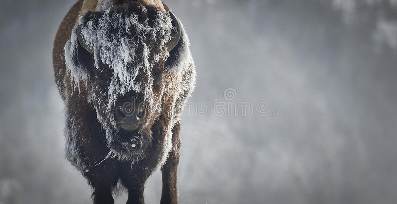 Bison de glace images stock