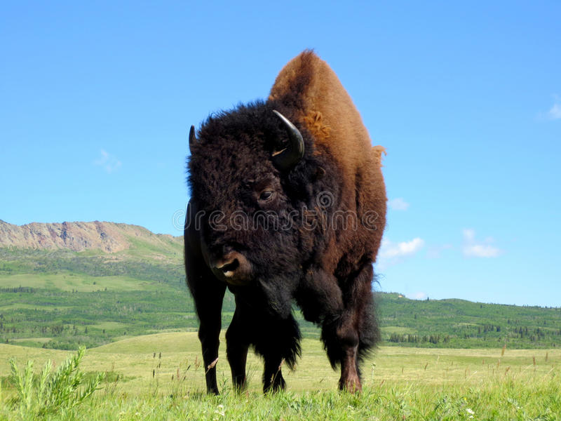 Bison de Praire en parc national de lacs Waterton images stock