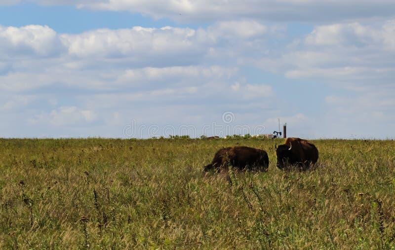 Bison de Taureau cafardant une femelle sur le prarie grand d'herbe avec le cric de pompe de puits de pétrole sur l'horizon photographie stock
