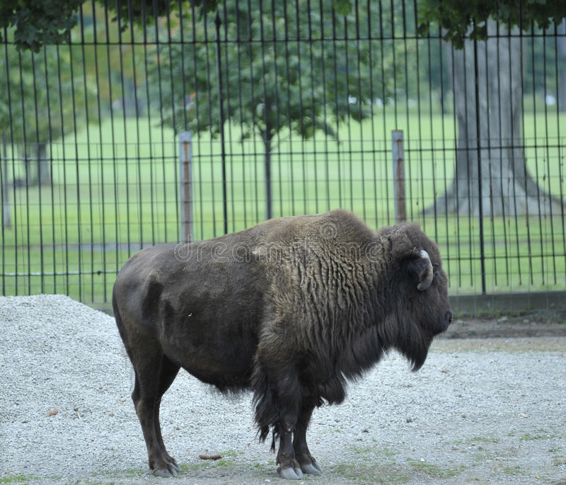 Bison debout photo stock