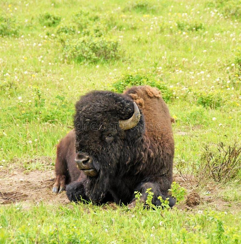 Bison, der auf grünem Gras, Yellowstone Wyoming stillsteht lizenzfreie stockfotografie