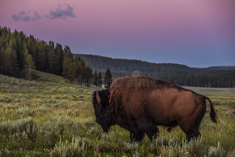 Bison, der durch die Wiesen von Hayden Valley bei Sonnenuntergang geht lizenzfreie stockfotografie