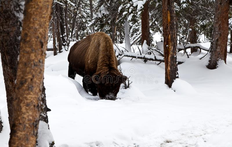 Bison, der durch tiefen Schnee in der Suche nach Lebensmittel gräbt stockbild