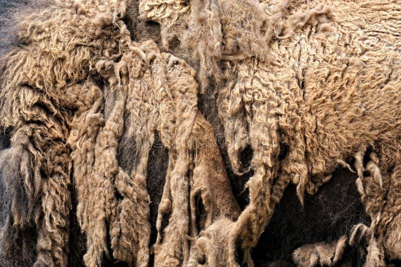Bison, der Wintermantel verschüttet lizenzfreie stockbilder