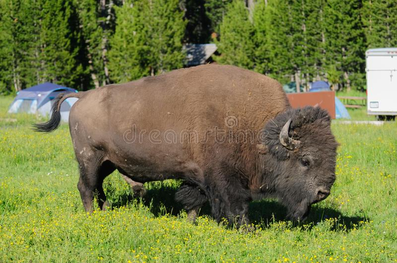 Bison, der in Yellowstone weiden lässt lizenzfreies stockbild