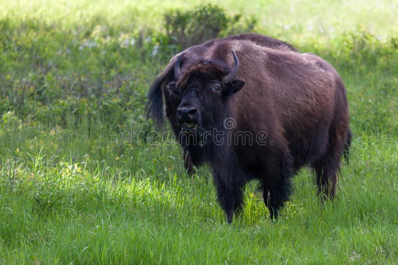 Bison Eating Grass stock image