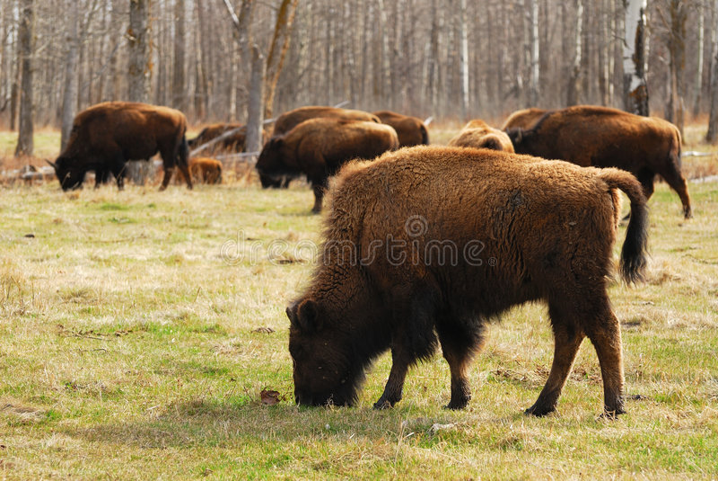 Bison In Elk Island Stock Photography