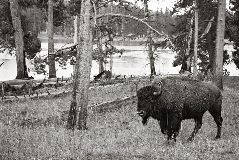 Bison en nature images stock