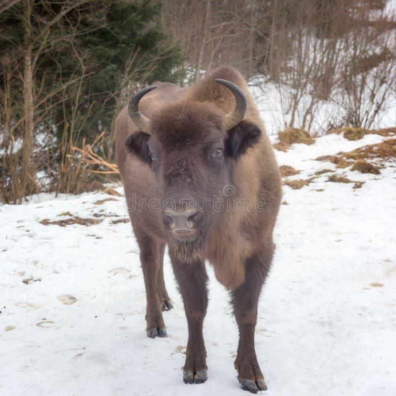 Bison européen d'Aurochs dans la forêt d'hiver, faune animale photos stock