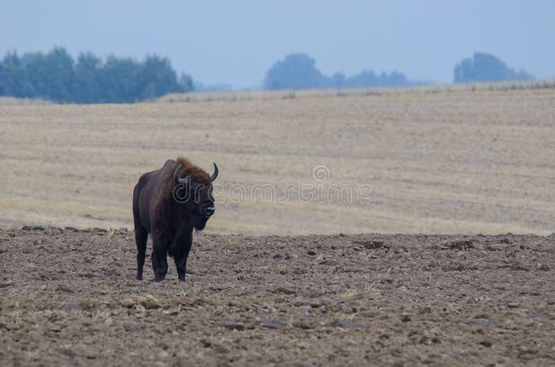 Download BISON EUROPÉEN SUR THE FIELD Photo stock - Image du européen, faune: 76081712
