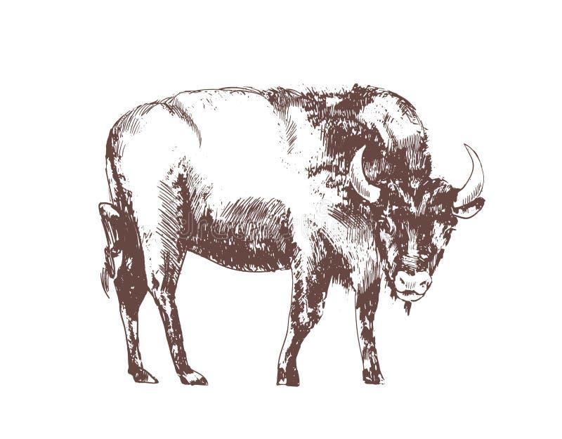 Bison européen tiré par la main avec des courbes de niveau sur le fond blanc Dessin de croquis monochrome d'animal herbivore bovi illustration de vecteur