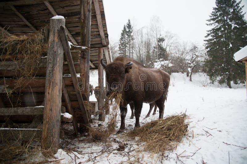 Bison européen, zubr photos stock