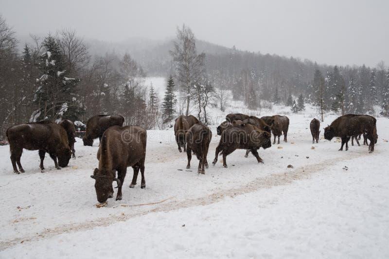 Bison européen, zubr photo libre de droits