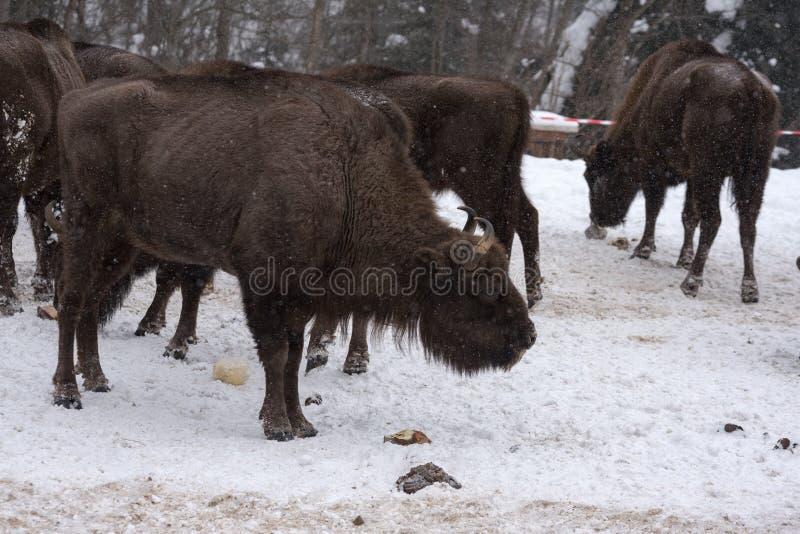 Bison européen, zubr photographie stock libre de droits
