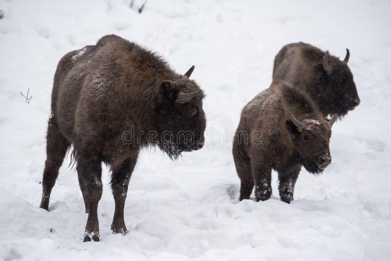 Bison européen, zubr photos libres de droits