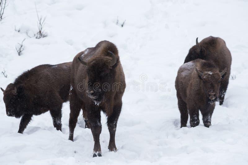 Bison européen, zubr images libres de droits