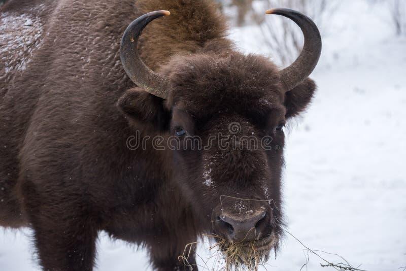 Bison européen, zubr images stock