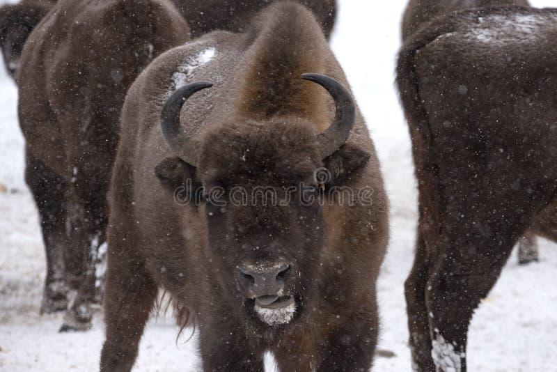 Bison européen, zubr image libre de droits