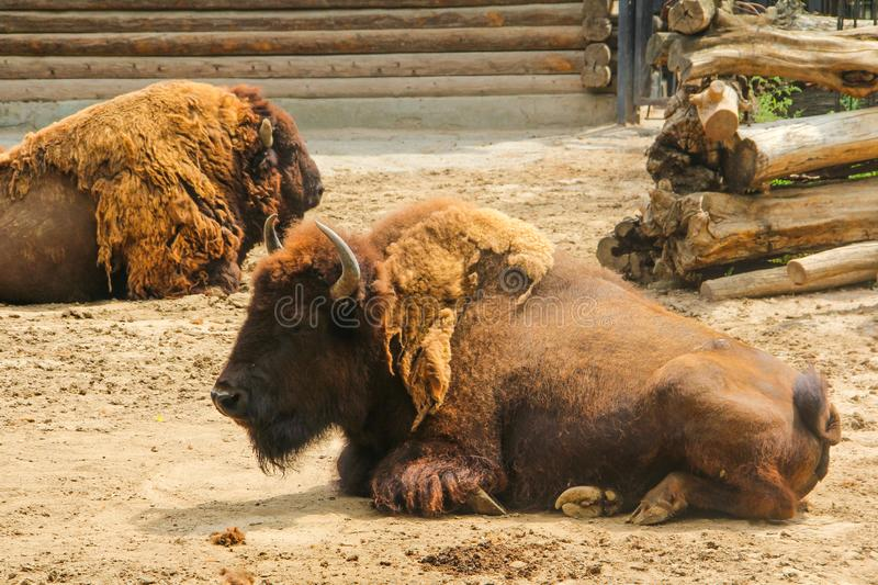 Bison, or European bison lat. Bison bonasus is a species of animals. Of the genus bison Bison of the subfamily bovine Bovinae of the family of bovid Bovidae of