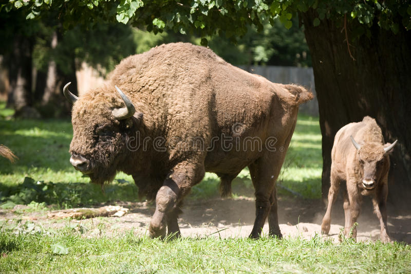 Bison familly stockfotos