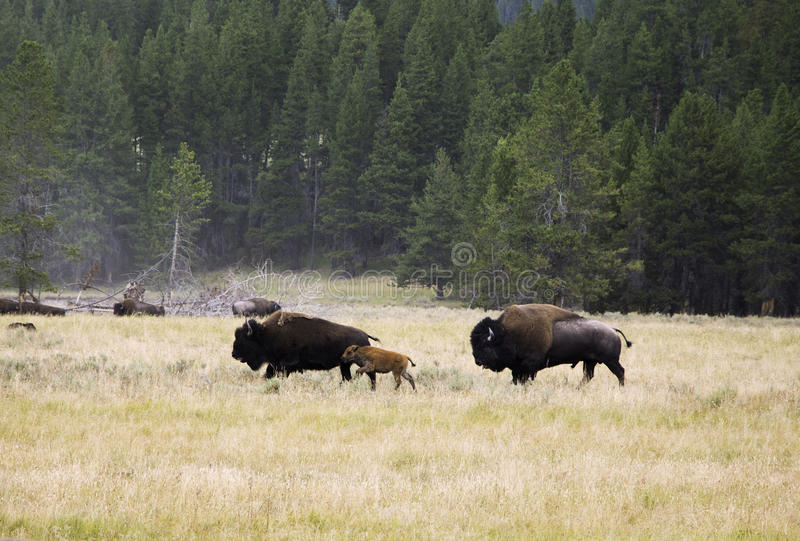 Bison Family at Yellowstone National Park stock images