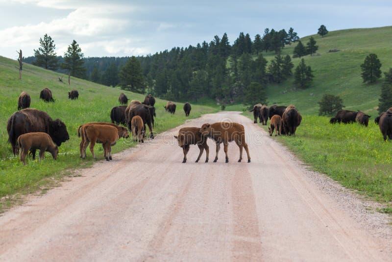 Bison Family in Zuid-Dakota royalty-vrije stock foto's