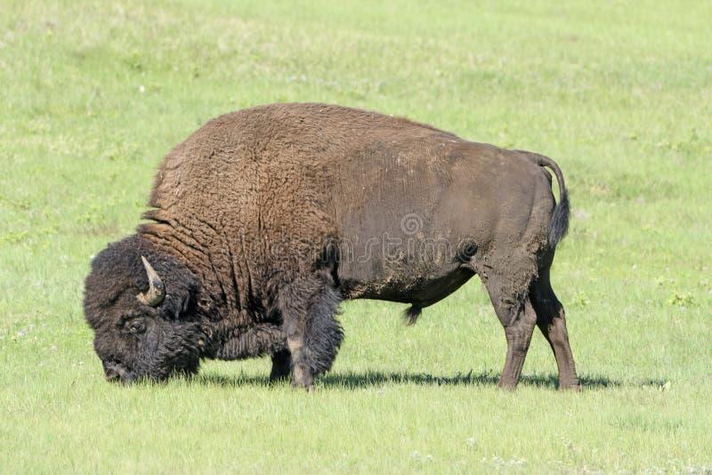 Bison Feeding in de Weiden royalty-vrije stock afbeelding