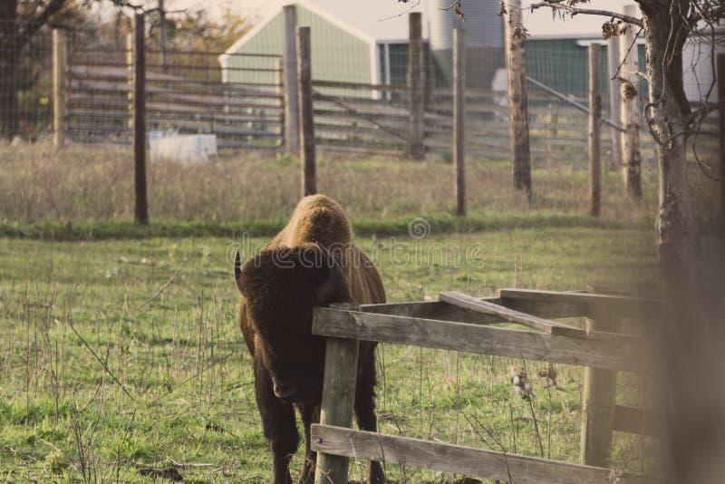 Bison Feeds na reserva natural em Jester Park, Iowa foto de stock royalty free
