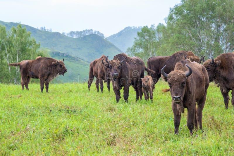 Bison femelle avec un bébé frôlant dans un pré dans le troupeau photographie stock libre de droits