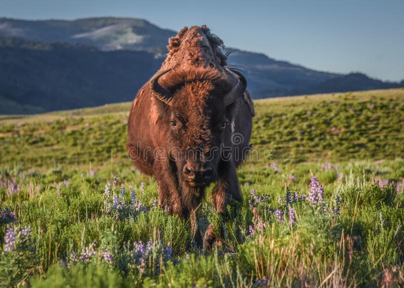Bison femelle marchant par les wildflowers de Lamar Valley photos stock