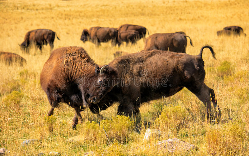 Bison fight stock photography